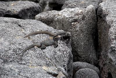 Galapagos Trip - Galapagos, Espinoza Point, Fernandina Island<br /> Marine Iquanas