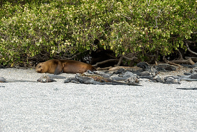 Galapagos Trip - Galapagos, Espinoza Point, Fernandina Island<br /> Sea Lion under the White Mangroves, in the midst of Marine Iguanas