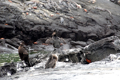Galapagos Trip - Galapagos, Espinoza Point, Fernandina Island<br /> Galapagos Flightless Cormorants, with Sally Lightfoot Crabs and Marine Iguanas in the background.