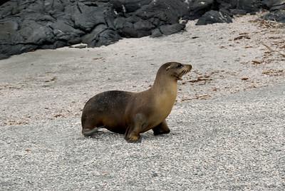 Galapagos Trip - Galapagos, Espinoza Point, Fernandina Island<br /> Sea Lion