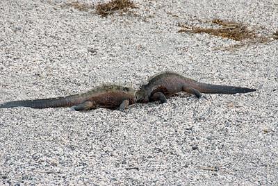 Galapagos Trip - Galapagos, Espinoza Point, Fernandina Island<br /> Marine Iguana territorial dispute