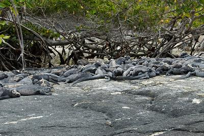 Galapagos Trip - Galapagos, Espinoza Point, Fernandina Island<br /> Marine Iguanas