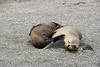 Galapagos Trip - Galapagos, Espinoza Point, Fernandina Island<br /> Two Seal Lions