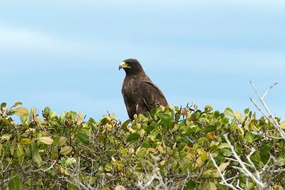 Galapagos Trip - Galapagos, Espinoza Point, Fernandina Island<br /> Galapagos Hawk sitting in the White Mangrove