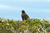 Galapagos Trip - Galapagos, Espinoza Point, Fernandina Island<br /> Galapagos Hawk sitting in the White Mangrove