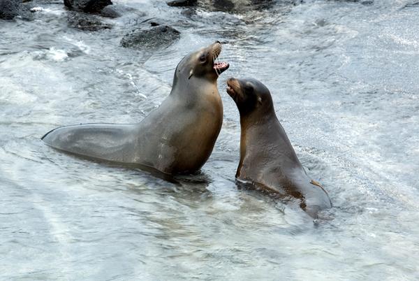 Galapagos Trip - Galapagos, Espinoza Point, Fernandina Island<br /> Sea Lions