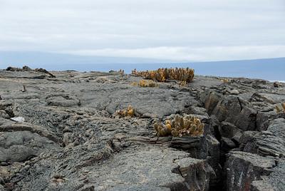 Galapagos Trip - Galapagos, Espinoza Point, Fernandina Island<br /> Lava Cactus