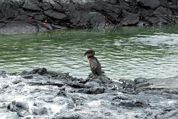 Galapagos Trip - Galapagos, Espinoza Point, Fernandina Island<br /> Galapagos Flightless Cormorant
