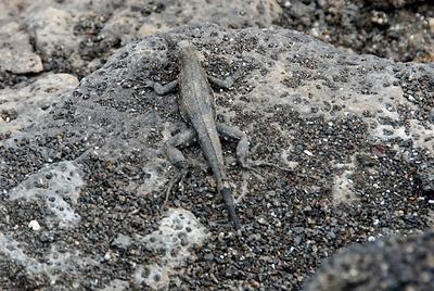 Galapagos Trip - Galapagos, Espinoza Point, Fernandina Island<br /> Lava Lizard