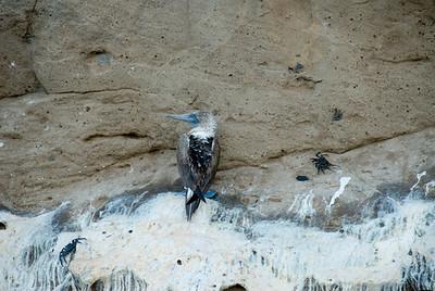 Galapagos Trip - Galapagos, Kicker Rock<br /> Blue Footed Booby among immature Sally Lightfoot Crabs