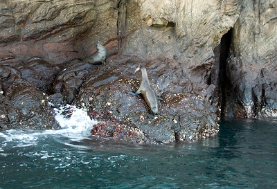 Galapagos Trip - Galapagos, Kicker Rock<br /> Sea Lions, one with fish in mouth