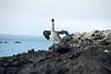 Galapagos Trip - Galapagos, Mariela Islands, Elizabeth Bay, Isabela Island<br /> Brown Pelican