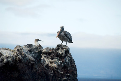Galapagos Trip - Galapagos, Mariela Islands, Elizabeth Bay, Isabela Island<br /> Brown Pelican and Red Footed Booby