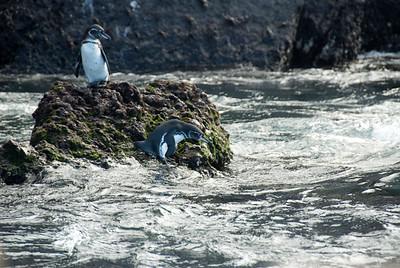 Galapagos Trip - Galapagos, Mariela Islands, Elizabeth Bay, Isabela Island<br /> Galapagos Penguins