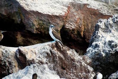 Galapagos Trip - Galapagos, Mariela Islands, Elizabeth Bay, Isabela Island<br /> Blue Footed Booby