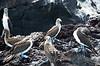 Galapagos Trip - Galapagos, Mariela Islands, Elizabeth Bay, Isabela Island<br /> Blue Footed Boobies