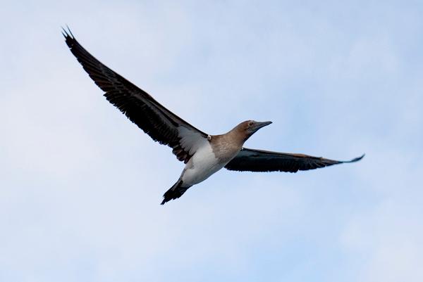 Galapagos Trip - Galapagos, Mariela Islands, Elizabeth Bay, Isabela Island<br /> Red Footed Booby