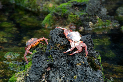 Galapagos Trip - Galapagos, Mariela Islands, Elizabeth Bay, Isabela Island<br /> Sally Lightfood Crabs