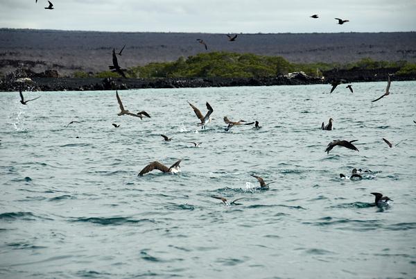 Galapagos Trip - Galapagos, Mariela Islands, Elizabeth Bay, Isabela Island<br /> Various birds in feeding frenzy