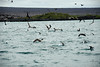 Galapagos Trip - Galapagos, Mariela Islands, Elizabeth Bay, Isabela Island<br /> Various birds in feeding frenzy
