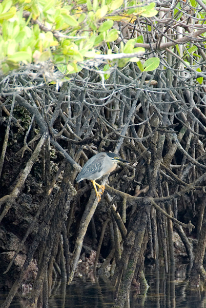 Galapagos Trip - Galapagos, Mariela Islands, Elizabeth Bay, Isabela Island<br /> Striated Heron in Red Mangrove