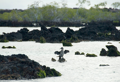Galapagos Trip - Galapagos, Mariela Islands, Elizabeth Bay, Isabela Island<br /> Flightless Galapagos Cormorant