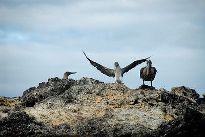 Galapagos Trip - Galapagos, Mariela Islands, Elizabeth Bay, Isabela Island<br /> Blue Footed Boobies and a Brown Pelican