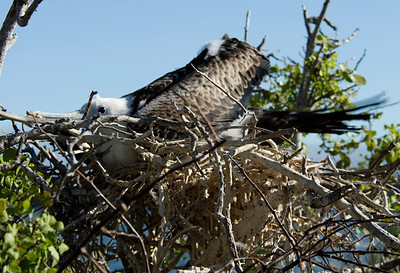 Galapagos Trip - Galapagos, North Seymour Island<br /> Juvenile Magnificent Frigate in nest