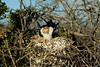 Galapagos Trip - Galapagos, North Seymour<br /> Magnificent Frigate baby in nest