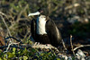 Galapagos Trip - Galapagos, North Seymour Island<br /> Great Frigate