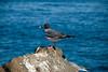 Galapagos Trip - Galapagos, North Seymour Island<br /> Swalllow Tailed Gull
