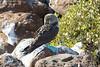 Galapagos Trip - Galapagos, North Seymour Island<br /> Blue Footed Booby