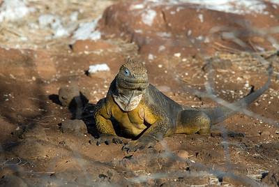 Galapagos Trip - Galapagos, North Seymour Island<br /> Land Iguana