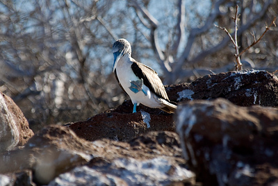 Galapagos Trip - Galapagos, North Seymour Island<br /> Blue Footed Booby