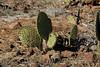 Galapagos Trip - Galapagos, North Seymour Island<br /> Prickly Pear Cactus