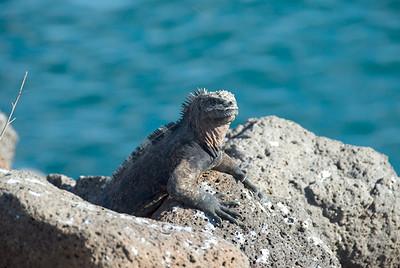 Galapagos Trip - Galapagos, North Seymour Island<br /> Marine Iguana