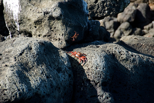 Galapagos Trip - Galapagos, North Seymour Island<br /> Sally Lightfoot Crabs
