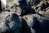 Galapagos Trip - Galapagos, North Seymour Island<br /> Sally Lightfoot Crabs