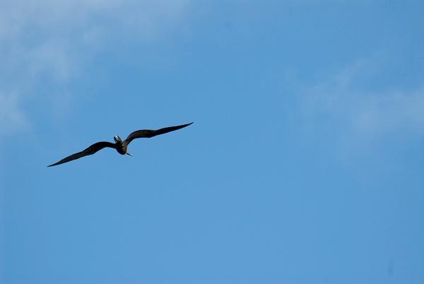 Galapagos Trip - Galapagos, North Seymour Island<br /> Great Frigate