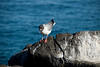 Galapagos Trip - Galapagos, North Seymour Island<br /> Swallow Tailed Gull