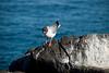 Galapagos Trip - Galapagos, North Seymour Island<br /> Swallow Tailed Gull