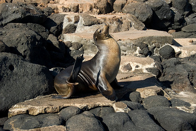 Galapagos Trip - Galapagos, North Seymour Island<br /> Sea Lion