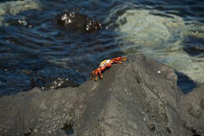Galapagos Trip - Galapagos, San Cristobal Island, Puerto Baquerizo Moreno<br /> Sally Lightfoot Crab