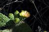 Galapagos Trip - Galapagos, San Cristobal Island, Puerto Baquerizo Moreno<br /> Prickly Pear Cactus Flower