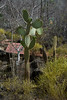 Galapagos Trip - Galapagos, San Cristobal Island, Puerto Baquerizo Moreno<br /> Prickly Pear Cactus at the Interpretation Center