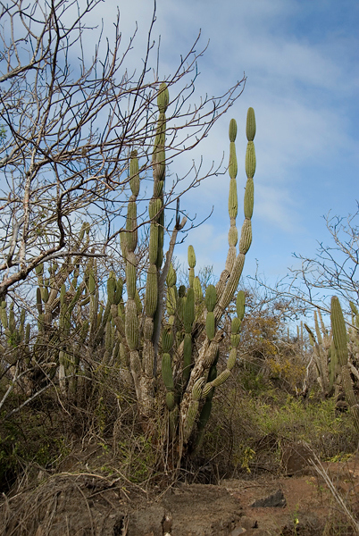 Galapagos Trip - Galapagos, San Cristobal Island, Puerto Baquerizo Moreno<br /> Candelabra Cactus at the Interpretation Center
