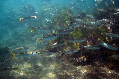 Galapagos Trip - Galapagos, Puerto Egas, Santiago Island<br /> Striped Mullets