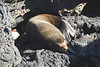 Galapagos Trip - Galapagos, Puerto Egas, Santiago Island<br /> Fur Seal