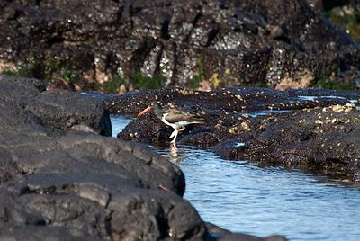Galapagos Trip - Galapagos, Puerto Egas, Santiago Island<br /> American Oystercatcher