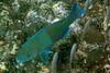 Galapagos Trip - Galapagos, Puerto Egas, Santiago Island<br /> Azure Parrotfish